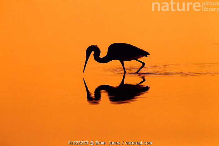 Little blue heron (Egretta caerulea) in lagoon at sunrise, Fort Myers Beach, Gulf Coast, Florida, USA, March.  ,  Animal,Vertebrate,Bird,Birds,True egret,Little blue heron,American,Animalia,Animal,Wildlife,Vertebrate,Aves,Bird,Birds,Pelecaniformes,Ardeidae,Egretta,True egret,Heron,Ardeinae,Egretta caerulea,Little blue heron,Atmospheric Mood,Atmospheric,Colour,Orange,North America,USA,Southern USA,Southeast US,Florida,Back Lit,Backlit,Coast,Coastal,Silhouette,American,  ,  Ernie  Janes