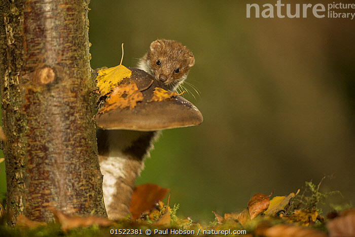 Weasel (Mustela nivalis) investigating birch stump with bracket fungus in autumn woodland, Sheffield, England, UK., catalogue8,,Animal,Vertebrate,Mammal,Carnivore,Mustelid,Least Weasel,Animalia,Animal,Wildlife,Vertebrate,Mammalia,Mammal,Carnivora,Carnivore,Mustelidae,Mustelid,Mustela,Mustela nivalis,Least Weasel,Curiosity,Cute,Adorable,Nobody,Size,Small,Little,Tiny,Europe,Western Europe,UK,Great Britain,England,South Yorkshire,Sheffield,Copy Space,Portrait,Plant,Tree,Deciduous,Birch Family,Birch Tree,Birch,Birch Trees,Birches,Outdoors,Open Air,Outside,Autumn,Autumnal,Fall,Day,Woodland,Forest,Fungus,Fungi,Yorkshire,Negative space,Forest floor,Investigating,, Paul Hobson