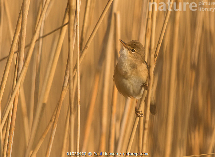 Nature Picture Library Reed Warbler Acrocephalus Scirpaceus Among Reed Bed South Yorkshire England Uk April Paul Hobson