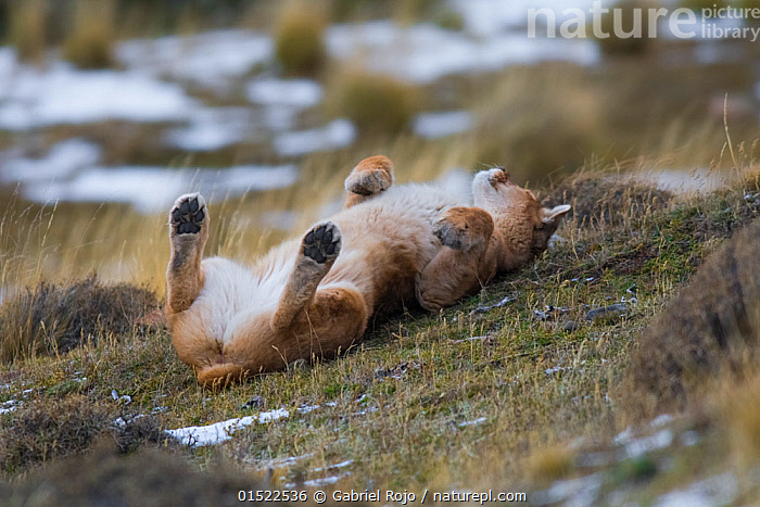 Puma (Puma concolor) rolling on back, Torres del Paine National Park, Chile, June., Animal,Vertebrate,Mammal,Carnivore,Cat,Puma,Cougar,Animalia,Animal,Wildlife,Vertebrate,Mammalia,Mammal,Carnivora,Carnivore,Felidae,Cat,Puma,Puma concolor,Cougar,Mountain Lion,Rolling,Latin America,South America,Chile,Animal Behaviour,Playing,Reserve,Behaviour,Play,Playful,Protected area,National Park,Torres del Paine,Felis concolor,, Gabriel Rojo