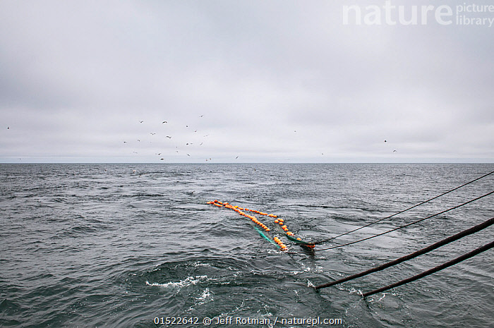 Hauling in dragger net full of Haddock (Melanogrammus aeglefinus) and Dogfish (Squalidae). Georges Bank, Masschusetts, New England, USA, May 2015.  ,  Animal,Vertebrate,Cartilaginous fish,Shark,Spurdog,Ray-finned fish,Cod,Ling,Haddock,American,Animalia,Animal,Wildlife,Vertebrate,Chondrichthyes,Cartilaginous fish,Jawed fish,Squaliformes,Shark,Squalidae,Spurdog,Actinopterygii,Ray-finned fish,Osteichthyes,Bony fish,Fish,Gadiformes,Cod,Lotidae,Ling,Rockling,Melanogrammus,Melanogrammus aeglefinus,Haddock,Seed haddock,Aeglefinus linnei,Melanogrammes aeglefinus,Morhua aeglefinus,North America,USA,Eastern USA,New England,Massachusetts,Equipment,Fishing Equipment,Fishing Net,Fishing Nets,Boat,Boats,Fishing Boat,Trawler,Trawlers,Ocean,Atlantic Ocean,Environment,Environmental Issues,Fishing Industry,Fishing Industries,Marine,Water,Working-boats,Saltwater,Fisheries,Fishery,Fishing,Commercial Fishing,American,Fish catch,Marine  ,  Jeff Rotman