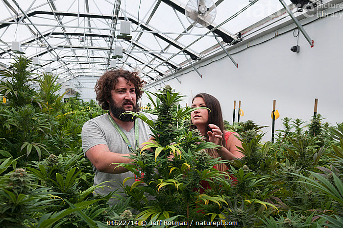 Man and woman with Cannabis plant in organic Marijuana farm, Pueblo, Colorado, USA, June 2015. . Marijuana has legalized in the state of Colorado, and this farm produces Marijuana for medical and retail purposes. Model and Property released.  ,  Plant,Vascular plant,Flowering plant,Rosid,Hemp,American,Plantae,Plant,Tracheophyta,Vascular plant,Magnoliopsida,Flowering plant,Angiosperm,Seed plant,Spermatophyte,Spermatophytina,Angiospermae,Rosales,Rosid,Dicot,Dicotyledon,Rosanae,Cannabaceae,Cannabis,Hemp,North America,USA,Western USA,Southwest US,Colorado,Medicines,Cure,Recreational Drug,Drug,Drugs,Narcotic,Narcotics,Marijuana,Farms,Building,Greenhouse,Greenhouses,Agriculture,Healthcare And Medicine,Healthcare,Medical,Treatment,Treatments,Medicine,American,Legalized,  ,  Jeff Rotman