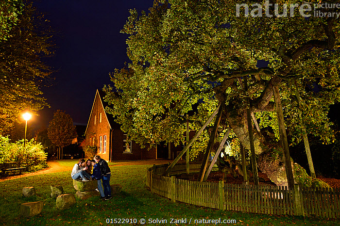'Femeiche' the Court Tree at night, an ancient English oak (Quercus robur) used in the Middle ages as Vehmic or secret court in which  serious criminals were judged and executed. Erle, Germany, October 2014, Plant,Vascular plant,Flowering plant,Rosid,Oak,Pedunculate oak,Plantae,Plant,Tracheophyta,Vascular plant,Magnoliopsida,Flowering plant,Angiosperm,Seed plant,Spermatophyte,Spermatophytina,Angiospermae,Fagales,Rosid,Dicot,Dicotyledon,Rosanae,Fagaceae,Quercus,Oak,Oak tree,Quercus robur,Pedunculate oak,English oak tree,French oak,Quercus pedunculata,Quercus longaeva,Ancient,Europe,Western Europe,Germany,Tree,Deciduous,Oak Tree,Oak Trees,Oaks,History,The Past,Tree,Trees, Solvin Zankl