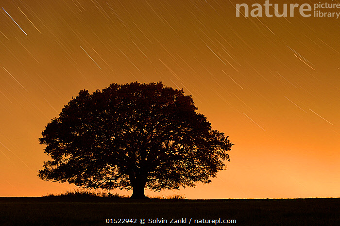 English oak tree (Quercus robur) silhouetted against orange sky with star trails, Nauroth, Germany, October.  ,  Plant,Vascular plant,Flowering plant,Rosid,Oak,Pedunculate oak,Plantae,Plant,Tracheophyta,Vascular plant,Magnoliopsida,Flowering plant,Angiosperm,Seed plant,Spermatophyte,Spermatophytina,Angiospermae,Fagales,Rosid,Dicot,Dicotyledon,Rosanae,Fagaceae,Quercus,Oak,Oak tree,Quercus robur,Pedunculate oak,English oak tree,French oak,Quercus pedunculata,Quercus longaeva,Europe,Western Europe,Germany,Back Lit,Backlit,Tree,Deciduous,Oak Tree,Oak Trees,Oaks,Outer Space,The Universe,Star Trail,Stars,Sunset,Setting Sun,Sunsets,Twilight,Silhouette,Dusk,Tree,Trees,Oak,Wildnis Eiche,Quercus,Bookplate,Oaks,Oak trees,Oak tree,  ,  Solvin Zankl