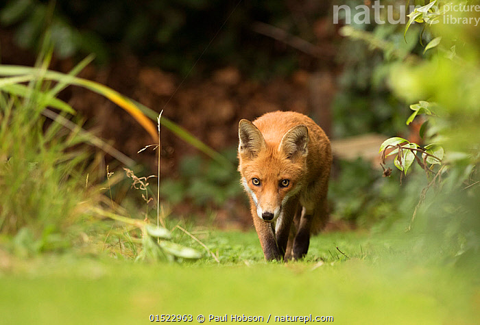 Fox (Vulpes vulpes) young in garden, Sheffield, England, UK, August., Animal,Vertebrate,Mammal,Carnivore,Canid,True fox,Red fox,Animalia,Animal,Wildlife,Vertebrate,Mammalia,Mammal,Carnivora,Carnivore,Canidae,Canid,Vulpes,True fox,Vulpini,Caninae,Vulpes vulpes,Red fox,Europe,Western Europe,UK,Great Britain,England,South Yorkshire,Sheffield,Young Animal,Juvenile,Yorkshire,, Paul Hobson