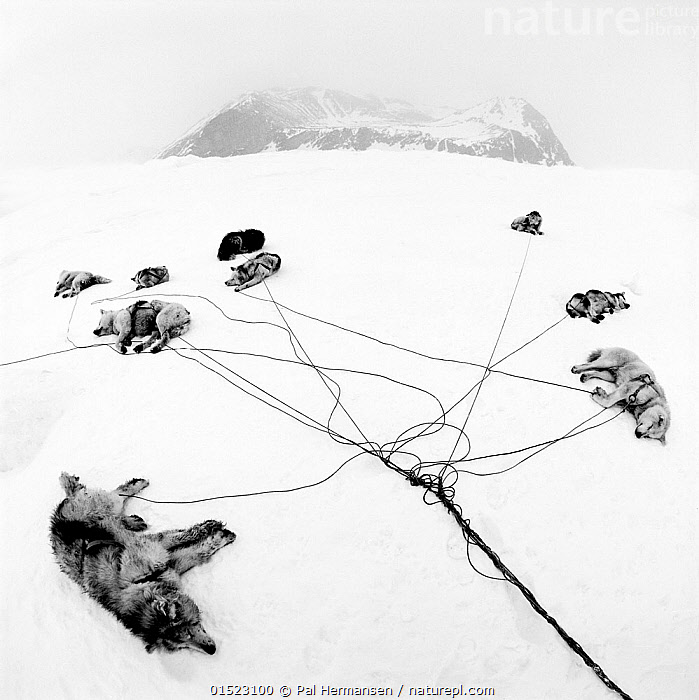 Inuit sled dogs resting, near Ittoqortoormiit, Scoresbysund, Greenland. Second Prize in the Nature category of the Spider Black and White Photography Competition 2015., catalogue8,,Canis familiaris,Lying down,Resting,Rest,Group,Medium Group,Nobody,Tiredness,Exhaustion,Animal,Rope,Cords,Rock,Snow,Landscape,Landscapes,Outdoors,Open Air,Outside,Winter,Day,Nature,Natural,Natural World,Wildlife,Wild,Domestic animal,Pet,Domestic Dog,Working Dog,Large dog,Greenland Dog,Competition winner,Canis familiaris,Dog,Medium group of animals,Mammal,Kalaallit Nunaat,Scoresbysund,,,Exhausted,, Pal Hermansen
