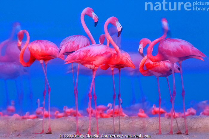 Caribbean flamingo (Phoenicopterus ruber) preparing to sleep, Ria Lagartos Biosphere Reserve, Yucatan Peninsula Mexico, July, catalogue8,,Animal,Vertebrate,Bird,Birds,Flamingo,American flamingo,Animalia,Animal,Wildlife,Vertebrate,Aves,Bird,Birds,Phoenicopteriformes,Flamingo,Phoenicopteridae,Phoenicopterus,Phoenicopterus ruber,American flamingo,Caribbean flamingo,West Indian flamingo,Cuban flamingo,Phoenicopterus ruber ruber,Standing,Preparation,Togetherness,Close,Together,Colour,Pink,Group,Large Group,Nobody,Vibrant Colour,Slim,Skinny,Latin America,Central America,Mexico,Full Length,Full Lengths,Whole,Photographic Effect,Blurred Motion,Blurred Movement,Animal Limbs,Limb,Animal Legs,Legs,Leg,Sky,Outdoors,Open Air,Outside,Twilight,Day,Nature,Natural,Natural World,Wild,Arty shots,Blue sky,Yucatan,Ria Lagartos Biosphere Reserve,, Claudio  Contreras