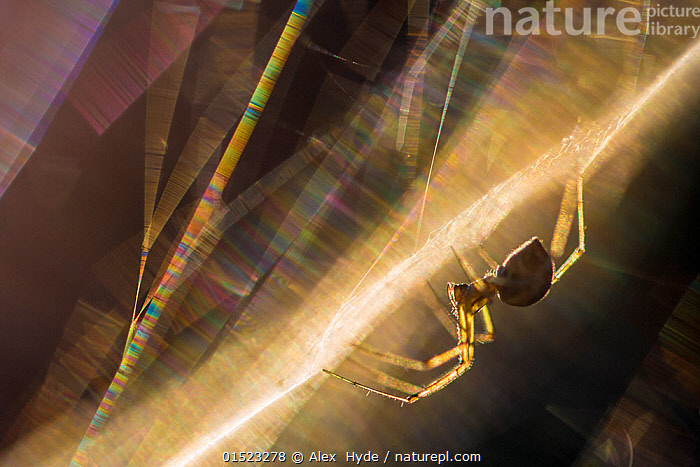 Sheetweb weaving spider (Linyphiidae) in web at sunset. The silk is refracting the light into a rainbow of coloured bands. Slovenia, July.  ,  catalogue8,,Animal,Arthropod,Arachnid,Spider,Money spider,Animalia,Animal,Wildlife,Chelicerata,Arthropod,Chelicerate,Arthropoda,Arachnida,Arachnid,Aranae,Spider,Linyphiidae,Money spider,Sheet weaver,Upside Down,Inverted,Upturned,Nobody,Halloween,Europe,Southern Europe,Slovenia,Close Up,Web,Spider's web,Fiber,Fibers,Fibre,Fibres,Light,Lights,Light Effect,Refraction,Prism,Prisms,Refractions,Sunlight,Sunset,Setting Sun,Sunsets,Outdoors,Open Air,Outside,Day,Nature,Natural,Natural World,Beauty In Nature,Arty shots,Dusk,Invertebrate,Creepy Crawly,  ,  Alex  Hyde