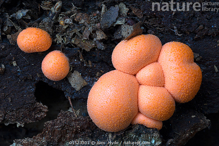 Wolf's milk slime mould (Lycogala epidendrum)  Sherwood Forest National Nature Reserve, Nottinghamshire, UK. October., Slime mould,Wolf's milk,Slime mould,Decomposition,Decaying,Europe,Western Europe,UK,Great Britain,England,Nottinghamshire,Wolf's milk,, Alex  Hyde
