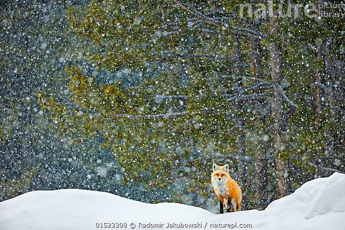 Red fox (Vulpes vulpes) standing in snowfall, Grand Teton National Park, Wyoming, USA, February. Winner of the NPL Best Single Image award in the Terre Sauvage Nature Images Awards competition 2015.  ,  catalogue8,,Animal,Vertebrate,Mammal,Carnivore,Canid,True fox,Red fox,American,Animalia,Animal,Wildlife,Vertebrate,Mammalia,Mammal,Carnivora,Carnivore,Canidae,Canid,Vulpes,True fox,Vulpini,Caninae,Vulpes vulpes,Red fox,Resilience,Resilient,Alone,Solitude,Solitary,Nobody,Temperature,Cold,North America,USA,Western USA,Wyoming,Snow,Weather,Snowing,Snowfall,Outdoors,Open Air,Outside,Winter,Day,Nature,Natural,Natural World,Wild,Habitat,Reserve,Forest,Competition winner,Protected area,National Park,Direct Gaze,Grand Teton National Park,American,  ,  Radomir  Jakubowski