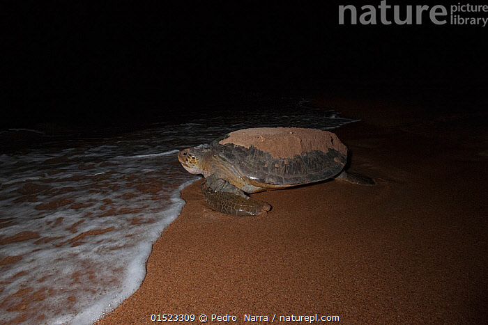 Green turtle (Chelonia mydas) returning to see after egg laying, e to open sea after digging nest.  Bissagos Islands, Guinea Bissau. Endangered species. 3rd Place in the SOS Especes Menacees / SOS Endangered Species Portfolio category of the Terre Sauvage Nature Images Awards Competition 2015.  ,  high15,,Animal,Vertebrate,Reptile,Testitudine,Sea turtles,Green turtle,Animalia,Animal,Wildlife,Vertebrate,Reptilia,Reptile,Chelonii,Testitudine,Cheloniidae,Sea turtles,Turtle,Chelonia,Chelonia mydas,Green turtle,Testudo mydas,Testudo cepediana,Chelonia lachrymata,Return,Returns,Uncertain,Unsure,Nobody,Dark,Darkness,Africa,West Africa,Guinea-Bissau,Republic of Guinea-Bissau,Profile,Side View,Female animal,Award,Awards,Prize,Prizes,Beach,Water's Edge,Outdoors,Open Air,Outside,Night,Nature,Natural,Natural World,Endangered Species,Threatened,Coast,Marine,Coastal,Water,Animal Behaviour,Nesting behaviour,Behaviour,Saltwater,Sea,Competition winner,Egg laying,Lays,West African,Bijagos Archipelago,Photography award,Endangered species,threatened,Endangered  ,  Pedro  Narra