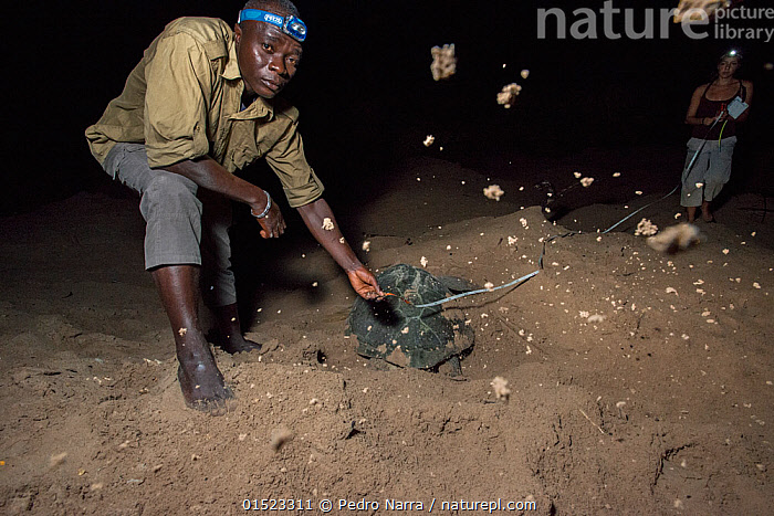 Man and woman undertaking monitoring work measuring  Green turtle (Chelonia mydas) nests as the the female digs it, Bissagos Islands, Guinea Bissau. Endangered species.  3rd Place in the SOS Especes Menacees / SOS Endangered Species Portfolio category of the Terre Sauvage Nature Images Awards Competition 2015., high15,,Animal,Vertebrate,Reptile,Testitudine,Sea turtles,Green turtle,Animalia,Animal,Wildlife,Vertebrate,Reptilia,Reptile,Chelonii,Testitudine,Cheloniidae,Sea turtles,Turtle,Chelonia,Chelonia mydas,Green turtle,Testudo mydas,Testudo cepediana,Chelonia lachrymata,Digging,Measuring,People,African Descent,Woman,Man,Research,Researching,Barefoot,Bare-Feet,Barefeet,Barefooted,Africa,West Africa,Guinea-Bissau,Republic of Guinea-Bissau,Female animal,Animal Home,Award,Awards,Prize,Prizes,Lighting,Electric Light,Nest,Beach,Outdoors,Open Air,Outside,Night,Nature,Natural,Natural World,Endangered Species,Threatened,Science,Coast,Coastal,Animal Behaviour,Nesting behaviour,Conservation,Behaviour,Competition winner,Egg laying,Lays,Wildlife conservation,Local people,Direct Gaze,West African,Head torch,Bending,Bending forwards,Bijagos Archipelago,Photography award,Monitoring,Endangered species,threatened,Endangered, Pedro  Narra