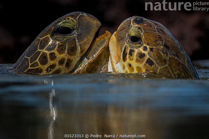 Green turtle (Chelonia mydas) two interacting at surface, Bissagos Islands, Guinea Bissau Endangered species.  3rd Place in the SOS Especes Menacees / SOS Endangered Species Portfolio category of the Terre Sauvage Nature Images Awards Competition 2015., catalogue8,,Animal,Vertebrate,Reptile,Testitudine,Sea turtles,Green turtle,Animalia,Animal,Wildlife,Vertebrate,Reptilia,Reptile,Chelonii,Testitudine,Cheloniidae,Sea turtles,Turtle,Chelonia,Chelonia mydas,Green turtle,Testudo mydas,Testudo cepediana,Chelonia lachrymata,Touching,Touch,Love,Face To Face,Face Each Other,Facing Each Other,Two,Nobody,Pattern,Patterned,Patterns,Affectionate,Affection,Africa,West Africa,Guinea-Bissau,Republic of Guinea-Bissau,Close Up,Side View,Animal Eye,Animal Eyes,Eye,Eyes,Award,Awards,Prize,Prizes,Tropical,Ocean,Atlantic Ocean,Outdoors,Open Air,Outside,Day,Nature,Natural,Natural World,Endangered Species,Threatened,Marine,Water Surface,Water,Saltwater,Tropics,Competition winner,Two animals,West African,Animal marking,Surface,Endangered species,threatened,Endangered, Pedro  Narra