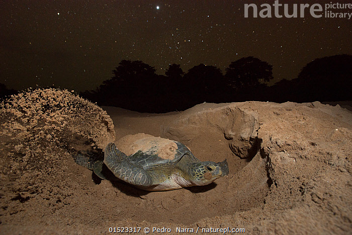 Green turtle (Chelonia mydas) female digging nest on beach at night, Guinea Bissau. Endangered species. 3rd Place in the SOS Especes Menacees / SOS Endangered Species Portfolio category of the Terre Sauvage Nature Images Awards Competition 2015.  ,  high15,,Animal,Vertebrate,Reptile,Testitudine,Sea turtles,Green turtle,Animalia,Animal,Wildlife,Vertebrate,Reptilia,Reptile,Chelonii,Testitudine,Cheloniidae,Sea turtles,Turtle,Chelonia,Chelonia mydas,Green turtle,Testudo mydas,Testudo cepediana,Chelonia lachrymata,Digging,Determination,Effort,Exertion,Trying,Nobody,Dark,Darkness,Africa,West Africa,Guinea-Bissau,Republic of Guinea-Bissau,Female animal,Animal Home,Award,Awards,Prize,Prizes,Nest,Beach,Stars,Outdoors,Open Air,Outside,Night,Coast,Coastal,Animal Behaviour,Nesting behaviour,Nest building,Behaviour,Competition winner,Egg laying,Lays,West African,Photography award,Endangered species,threatened,Endangered  ,  Pedro  Narra