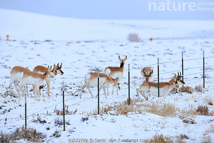 Pronghorns (Antilocapra americana) crawling under fence  in snow during migration, Sublette County, Wyoming, USA. March., Animal,Vertebrate,Mammal,Pronghorn,Mexican Pronghorn,American,Animalia,Animal,Wildlife,Vertebrate,Mammalia,Mammal,Artiodactyla,Even-toed ungulates,Antilocapridae,Pronghorn,ruminantia,Ruminant,Antilocapra,Antilocapra americana,Mexican Pronghorn,Prong buck,Pronghorn antelope,Migrating,Migration,Group Of Animals,Herd,Herds,Group,North America,USA,Western USA,Wyoming,Boundary,Fence,Snow,Winter,Animal Behaviour,Behaviour,American,, Gerrit  Vyn