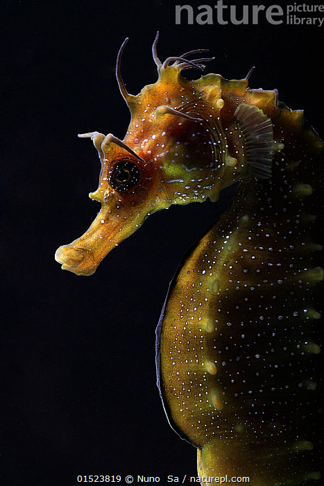 Long snouted seahorse (Hippocampus guttulatus) in captive breeding laboratory at University of Algarve, Portugal. June 2010. Overall winner of the Underwater Photographer of the Year competition 2015.  ,  high15,,Animal,Vertebrate,Ray-finned fish,Seahorse,Yellow seahorse,Maned seahorse,Animalia,Animal,Wildlife,Vertebrate,Actinopterygii,Ray-finned fish,Osteichthyes,Bony fish,Fish,Syngnathiformes,Syngnathidae,Hippocampus,Seahorse,Hippocampus guttulatus,Yellow seahorse,Hippocampus longirostris,Hippocampus guttulatus multiannularis,Hippocampus hippocampus microstephanus,Maned seahorse,Long-snouted seahorse,Spiny seahorse,Research,Researching,Nobody,Europe,Southern Europe,Iberian Peninsula,Portugal,Plain Background,Black Background,Profile,Close Up,Side View,Portrait,Back Lit,Backlit,Animal Nose,Nose,Noses,Building,Place Of Research,Research Facility,Research Facilities,Laboratory,Lab,Laboratories,Labs,Indoors,Studio Shot,Studio Shots,Conservation,Competition winner,Captive breeding,Species recovery programs,Wildlife conservation,Breeding,Photography award,Marine  ,  Nuno  Sa