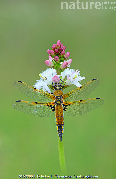 Four spotted chaser (Libellula quardrimaculata) Montiaghs Moss NNR, Aghalee, County Antrim, Northern Ireland, June., catalogue8,,Animal,Arthropod,Insect,Pterygota,Skimmer,Four spotted chaser,Animalia,Animal,Wildlife,Hexapoda,Arthropod,Invertebrate,Hexapod,Arthropoda,Insecta,Insect,Odonata,Pterygota,Libellulidae,Skimmer,Skimmer dragonfly,Dragonfly,Anisoptera,Epiprocta,Libellula,Libellula quadrimaculata,Four spotted chaser,Fourspotted chaser,Four spotted skimmer,Fourspot pond skimmer,Four spot pond skimmer,Four spotted libellula,Pollination,Balance,Symmetry,Nobody,Europe,Western Europe,UK,Northern Ireland,Coloured Background,Green Background,Close Up,Plant,Flower,Flowers,Wing,Wings,Outdoors,Open Air,Outside,Day,Antrim,Wings spread,Wingspan,One Object,Flowerhead,Aghalee,, Robert  Thompson