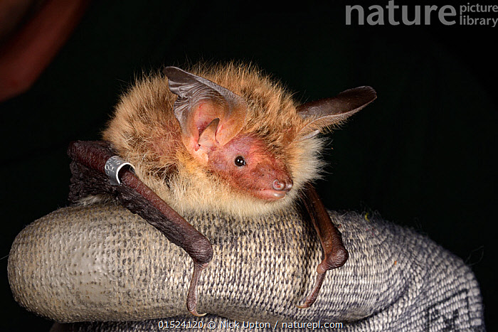 Ringed Bechstein's bat (Myotis bechsteinii), a rare, endangered species of ancient woodlands in the UK, held during an autumn swarming survey run by the Wiltshire Bat Group, near Box, Wiltshire, UK, September. Model released.  ,  Animal,Vertebrate,Mammal,Bat,Vespertilionid bat,Mouse eared bats,Animalia,Animal,Wildlife,Vertebrate,Mammalia,Mammal,Chiroptera,Bat,Vespertilionidae,Vespertilionid bat,Microchiroptera,Microbat,Micro bat,Myotis,Mouse eared bats,Myotis bechsteinii,People,Research,Researching,Europe,Western Europe,UK,Great Britain,England,Wiltshire,Hand,Night,Nocturnal,Science,Surveying,Survey,Bechstein's bat,  ,  Nick Upton
