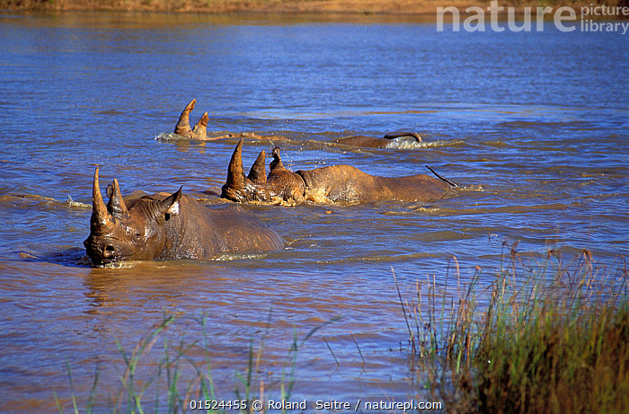 Black rhinoceroses (Diceros bicornis) swimming acorss river, Zimbabwe.  ,  Animal,Vertebrate,Mammal,Odd toed ungulate,Rhinoceros,Black rhino,Black Rhinoceros,Animalia,Animal,Wildlife,Vertebrate,Mammalia,Mammal,Perissodactyla,Odd toed ungulate,Rhinocerotidae,Rhinoceros,Rhino,Diceros,Black rhino,Diceros bicornis,Black Rhinoceros,Hook-lipped Rhinoceros,Swimming,Group,Africa,East Africa,Zimbabwe,Flowing Water,River,Freshwater,Water,Endangered species,threatened,Critically endangered  ,  Roland  Seitre