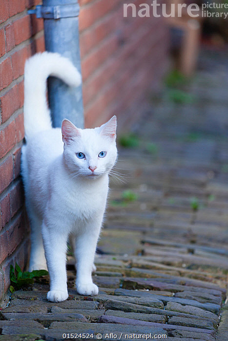 Blue eyed white cat standing in alley. Netherlands., Felis catus,Colour,White,Europe,Western Europe,The Netherlands,Holland,Netherlands,Portrait,Animal,Domestic animal,Pet,Domestic Cat,Cats,Felis catus,Feral,Cat,White colour,, Aflo