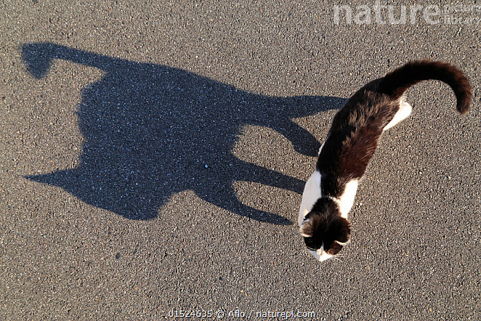 High angle view of cat and its shadow, Hiroshima, Japan., Felis catus,Asia,East Asia,Japan,High Angle View,Animal,Light,Lights,Shadow,Sunlight,Domestic animal,Pet,Domestic Cat,Cats,Felis catus,Feral,Cat,Elevated view,,,Rebel,, Aflo