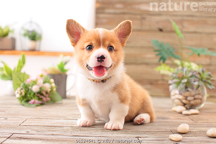 Pembroke Welsh Corgi puppy next to plants.  ,  Cute,Adorable,Happiness,Joy,Facial Expression,Smiling,Portrait,Animal,Young Animal,Juvenile,Babies,Baby Mammal,Puppy,Mouth,Animal Behaviour,Thermoregulation,Panting,Behaviour,Direct Gaze,Open Mouth,  ,  Aflo