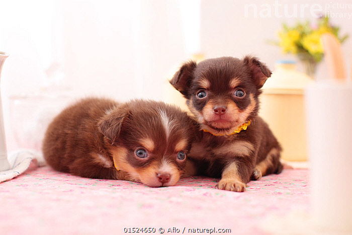 Two Chihuahua puppies resting., Canis familiaris,Cute,Adorable,Friendship,Two,Copy Space,Photographic Effect,Lighting Technique,Overexposed,Animal,Young Animal,Juvenile,Babies,Baby Mammal,Puppy,Domestic animal,Pet,Domestic Dog,Toy dog,Small dog,Chihuahua,Canis familiaris,Dog,Direct Gaze,Negative space,Mammal,, Aflo
