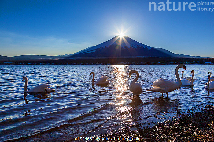 Mute swan (Cygnus olor) in Lake Yamanaka, with the sun setting over the peak of Mount Fiji in the background, Yamanashi, Fujiyama, Japan. January., Animal,Vertebrate,Bird,Birds,Water fowl,Waterfowl,True swan,Mute swan,Animalia,Animal,Wildlife,Vertebrate,Aves,Bird,Birds,Anseriformes,Water fowl,Galloanserans,Waterfowl,Anatidae,Cygnus,True swan,Swan,Cygninae,Anserinae,Cygnus olor,Mute swan,Group,Asia,East Asia,Japan,Mountain,Light,Lights,Sunlight,Sunset,Setting Sun,Sunsets,Landscape,Landscapes,Freshwater,Lake,Water,Habitat,Dusk,Wildfowl, Aflo