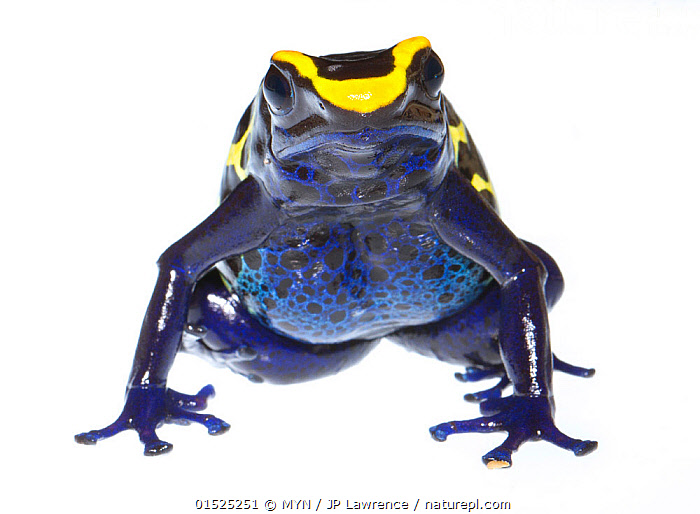 Dyeing poison frog (Dendrobates tinctorius) captive, occurs in Guiana, Suriname, Brazil, and French Guiana. Meetyourneighbours.net project  ,  Animal,Vertebrate,Frog,Poison dart frog,Dyeing poison arrow frog,Animalia,Animal,Wildlife,Vertebrate,Amphibia,Anura,Frog,Dendrobatidae,Poison dart frog,Poison arrow frog,Dendrobates,Dendrobates tinctorius,Dyeing poison arrow frog,Dendrobates azureus,Colour,Blue,Latin America,South America,Cutout,Plain Background,White Background,Front View,View From Front,Portrait,MYN,Meet your Neighbours,Colour morphs,Direct Gaze,Amphibian,Blue Colour,Poisonous  ,  MYN / JP Lawrence