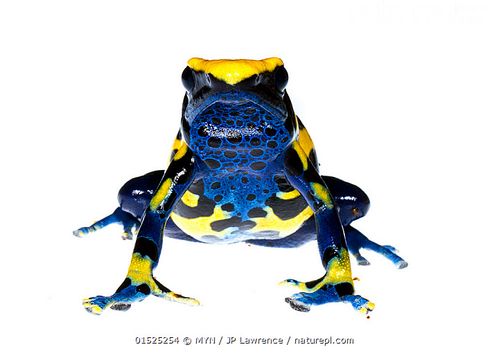 Dyeing poison frog (Dendrobates tinctorius) captive, occurs in Guyana, Suriname, Brazil, and French Guiana. Meetyourneighbours.net project  ,  Animal,Vertebrate,Frog,Poison dart frog,Dyeing poison arrow frog,Animalia,Animal,Wildlife,Vertebrate,Amphibia,Anura,Frog,Dendrobatidae,Poison dart frog,Poison arrow frog,Dendrobates,Dendrobates tinctorius,Dyeing poison arrow frog,Dendrobates azureus,Colour,Blue,Latin America,South America,Cutout,Plain Background,White Background,Front View,View From Front,Portrait,MYN,Meet your Neighbours,Colour morphs,Direct Gaze,Amphibian,Blue Colour,Poisonous  ,  MYN / JP Lawrence