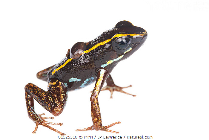 Lovely poison frog (Phyllobates lugubris) male with a tadpole, Isla Colon, Panama, June. Meetyourneighbours.net project  ,  Animal,Vertebrate,Frog,Poison dart frog,Lovely Poison Frog,Animalia,Animal,Wildlife,Vertebrate,Amphibia,Anura,Frog,Dendrobatidae,Poison dart frog,Poison arrow frog,Phyllobates,Phyllobates lugubris,Lovely Poison Frog,Phyllobates beatriciae,Latin America,Central America,Panama,Cutout,Plain Background,White Background,Profile,Side View,Young Animal,Juvenile,Babies,Tadpole,Tadpoles,Family,MYN,Meet your Neighbours,Father Baby,Parent baby,Amphibian,Poisonous  ,  MYN / JP Lawrence
