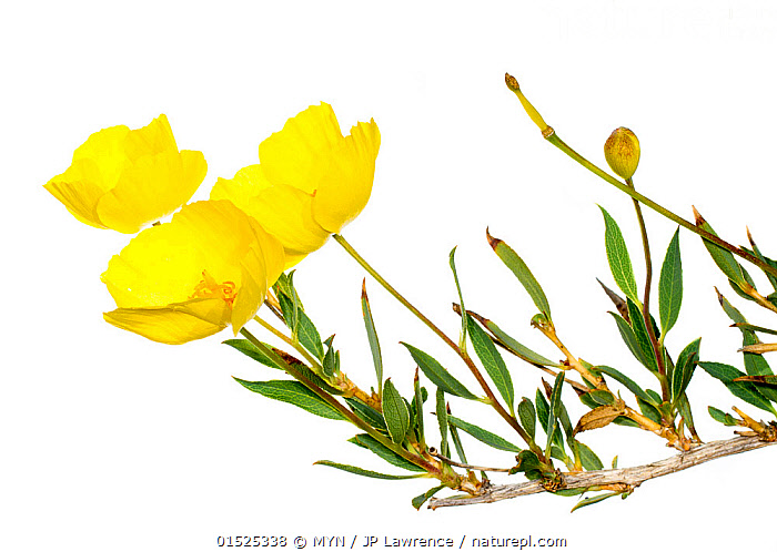 Bush poppy (Dendromecon rigida) flower, San Diego Bay, California, USA, February. Meetyourneighbours.net project, Plant,Vascular plant,Flowering plant,Dicot,Tree poppy,American,Plantae,Plant,Tracheophyta,Vascular plant,Magnoliopsida,Flowering plant,Angiosperm,Seed plant,Spermatophyte,Spermatophytina,Angiospermae,Ranunculales,Dicot,Dicotyledon,Ranunculanae,Papaveraceae,Fumariaceae,Dendromecon,Dendromecon rigida,Tree poppy,Dendromecon agnina,Dendromecon bolanderi,Dendromecon flexile,Colour,Yellow,North America,USA,Western USA,Southwest US,California,Cutout,Plain Background,White Background,Flower,MYN,Meet your Neighbours,American,Yellow Colour,, MYN / JP Lawrence