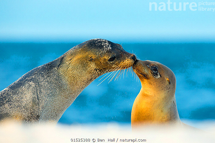 Galapagos sea lion (Zalophus wollebaeki) mother and young touching noses, Galapagos Islands, May, catalogue8,,Animal,Vertebrate,Mammal,Carnivore,Eared seal,Sealion,Galapagos sealion,Animalia,Animal,Wildlife,Vertebrate,Mammalia,Mammal,Carnivora,Carnivore,Otaridae,Eared seal,Otary,Otarid,Pinniped,Pinnipedia,Zalophus,Sealion,Zalophus wollebaeki,Galapagos sealion,Touching,Touch,Face To Face,Face Each Other,Facing Each Other,Two,Nobody,Affectionate,Affection,Latin America,South America,Galapagos Islands,Galapagos,The Galapagos,The Galapagos Islands,Animal Nose,Nose,Noses,Outdoors,Open Air,Outside,Day,Nature,Natural,Natural World,Wild,Marine,Water,Family,Mother baby,Saltwater,Mother-baby,mother,Sea,Biodiversity hotspot,Whiskers,View to sea,Two animals,Parent baby,Nose to nose,Marine,Endangered species,threatened,Endangered, Ben  Hall