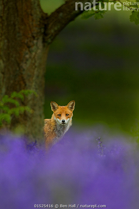 Red fox (Vulpes vulpes) peering from behind tree with bluebells in foreground, Cheshire, June., catalogue8,,Animal,Vertebrate,Mammal,Carnivore,Canid,True fox,Red fox,Animalia,Animal,Wildlife,Vertebrate,Mammalia,Mammal,Carnivora,Carnivore,Canidae,Canid,Vulpes,True fox,Vulpini,Caninae,Vulpes vulpes,Red fox,Alertness,Alert,Curiosity,Nobody,Europe,Western Europe,UK,Great Britain,England,Cheshire,Camera Focus,Selective Focus,Focus On Background,Focus On Backgrounds,Plant,Lily Order,Iris Family,Bluebell,Bluebells,Flower,Flowers,Outdoors,Open Air,Outside,Spring,Day,Direct Gaze,Shallow depth of field,Low depth of field,, Ben  Hall