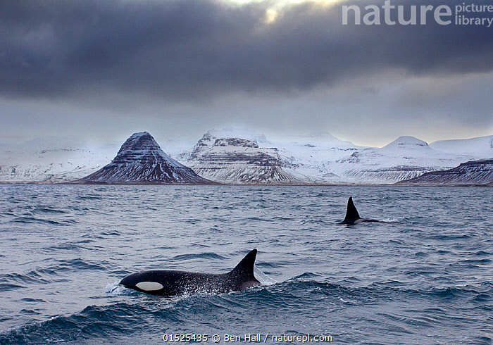 Orcas (Orcinus orca) pair in sea surrounded by mountains, Iceland, January.  ,  catalogue8,,Animal,Vertebrate,Mammal,Ceteacean,Oceanic dolphin,Killer Whale,Animalia,Animal,Wildlife,Vertebrate,Mammalia,Mammal,Cetacea,Ceteacean,Delphinidae,Oceanic dolphin,Dolphin,Odontoceti,Orcinus,Orcinus orca,Killer Whale,Orca,Orcinus gladiator,Orcinus ater,Orcinus capensis,Mood,Ominous,Foreboding,Sayings,Calm Before The Storm,Threat,Menace,Menaces,Menacing,Threatening,Threats,Two,Nobody,Temperature,Cold,Europe,Northern Europe,North Europe,Nordic Countries,Scandinavia,Iceland,Fin,Fins,Dorsal Fin,Dorsal Fins,Mountain,Sky,Cloud,Storm Cloud,Snow,Ocean,Arctic Ocean,Weather,Overcast,Sunsets,Landscape,Landscapes,Outdoors,Open Air,Outside,Winter,Day,Marine,Water,Animal Behaviour,Cold Water,Behaviour,Saltwater,Sea,Surfacing,Dusk,Coldwater,View to land,Two animals,Surface,Marine  ,  Ben  Hall