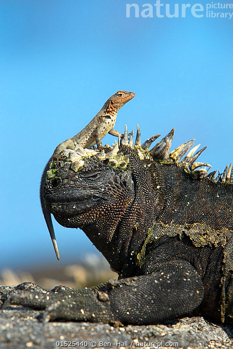 Marine Iguana (Amblyrhynchus cristatus) on rock with lava lizard sitting on its head, Galapagos Islands, May., catalogue8,,Animal,Vertebrate,Reptile,Squamate,Iguana,Marine Iguana,Animalia,Animal,Wildlife,Vertebrate,Reptilia,Reptile,Squamata,Squamate,Iguanidae,Iguana,Lizard,Amblyrhychus,Amblyrhynchus cristatus,Marine Iguana,Fernandina Marine Iguana,Galapagos Marine Iguana,Sea Iguana,Oreocephalus cristatus,Alertness,Alert,Contrasts,Opposites,Direction,Friendship,Two,Nobody,Facial Expression,Latin America,South America,Galapagos Islands,Galapagos,The Galapagos,The Galapagos Islands,Copy Space,Profile,Close Up,Side View,Scale,Animal Scale,Scaly,Sky,Clear Sky,Outdoors,Open Air,Outside,Day,Nature,Natural,Natural World,Wild,Mixed species,Biodiversity hotspot,Unlikely friends,Unusual friends,Sentry behaviour,Two animals,Negative space,Blue sky,Purpose,Tolerance,Endangered species,threatened,Vulnerable, Ben  Hall