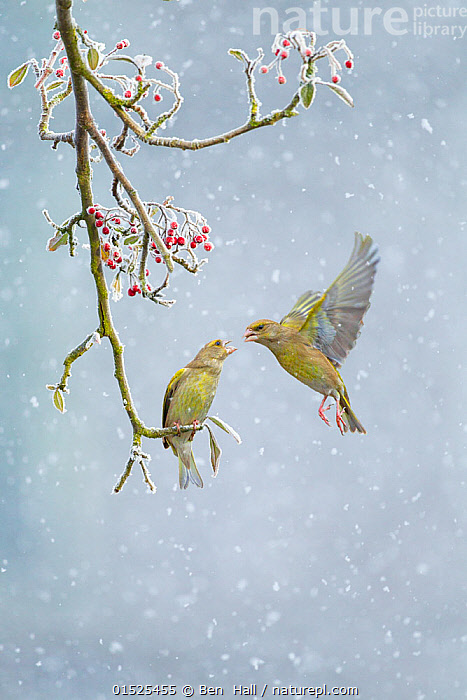 Greenfinch (Carduelis chloris) pair, one perched on branch and one hovering in snowfall, Derbyshire, February.  ,  catalogue8,,Animal,Vertebrate,Bird,Birds,Songbird,True finch,Cardueline finch,European greenfinch,Animalia,Animal,Wildlife,Vertebrate,Aves,Bird,Birds,Passeriformes,Songbird,Passerine,Fringillidae,True finch,Finch,Carduelis,Cardueline finch,Carduelinae,Carduelis chloris,European greenfinch,Greenfinch,Common greenfinch,Western greenfinch,Loxia chloris,Flying,Hovering,Greeting,Arrival,Mid Air,Two,Nobody,Temperature,Cold,Europe,Western Europe,UK,Great Britain,England,Derbyshire,Close Up,Side View,Plant,Berry,Weather,Snowing,Snowfall,Outdoors,Open Air,Outside,Winter,Day,Nature,Natural,Natural World,Wild,Cooperation,Fruit,Flight,Two animals,Winter Wonderland,  ,  Ben  Hall