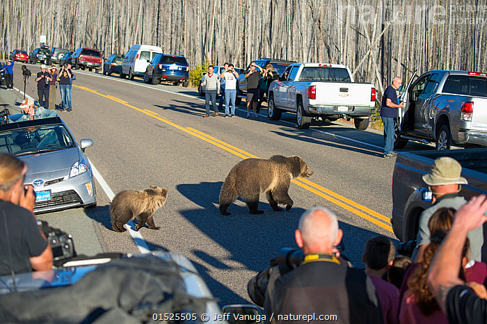 Traffic jam caused by Grizzly bear (Ursus arctos horribilis) mother and cubs crossing road, watched by tourists and photographers, Yellowstone National Park, Wyoming, USA, October 2015., Animal,Vertebrate,Mammal,Carnivore,Bear,Brown Bear,Grizzly bear,American,Animalia,Animal,Wildlife,Vertebrate,Mammalia,Mammal,Carnivora,Carnivore,Ursidae,Bear,Ursus,Ursus arctos,Brown Bear,People,Recreation Role,Tourist,Tourists,Group,Large Group,North America,USA,Western USA,Wyoming,Photography,Road,Environment,Rush Hour,Peak Hour,The Rush Hour,Traffic Congestion,Reserve,Grizzly bear,Protected area,National Park,Wildlife watching,Yellowstone National Park,American,Crowded,, Jeff Vanuga