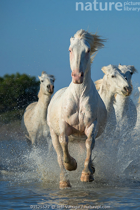 White horses of the Camargue galloping through marshes in the Camargue, France. April., Equus ferus caballus,Equus caballus,Running,Freedom,Speed,Group Of Animals,Herd,Herds,Few,Three,Group,Europe,Western Europe,France,Bouches Du Rhone,Bouches-Du-Rhne,Bouches-Du-Rhone,Animal,Wetland,Marsh,Marshland,Water,Domestic animal,Domestic Horse,Camargue horse,Equus ferus caballus,Equus caballus,Horse,Camargue,Mammal,, Jeff Vanuga