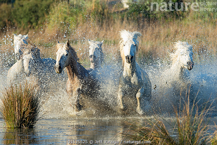 White horses of the Camargue galloping through marshes in the Camargue, France. April.  ,  catalogue8,,Equus ferus caballus,Equus caballus,Galloping,Gallop,Gallops,Running,Splashing,Freedom,Speed,Togetherness,Close,Together,Unity,Urgency,Colour,White,Side By Side,Group Of Animals,Herd,Herds,Group,Medium Group,Nobody,Europe,Western Europe,France,Bouches Du Rhone,Bouches-Du-Rhne,Bouches-Du-Rhone,Front View,View From Front,Animal,Outdoors,Open Air,Outside,Day,Wetland,Marsh,Marshland,Water,Domestic animal,Domestic Horse,Camargue horse,Equus ferus caballus,Equus caballus,Horse,Medium group of animals,Five animals,White colour,Water spray,Hurrying,Camargue,Mammal,  ,  Jeff Vanuga