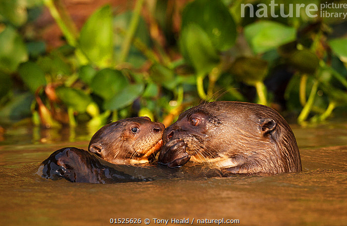 Giant Otter (Pteronura brasiliensis) adult with young in water, Pantanal, Brazil  ,  Animal,Wildlife,Vertebrate,Mammal,Carnivore,Mustelid,Giant Otter,Giant Brazilian Otter,Pantanal wetlands,Animalia,Animal,Wildlife,Vertebrate,Mammalia,Mammal,Carnivora,Carnivore,Mustelidae,Mustelid,Pteronura,Giant Otter,Pteronura brasiliensis,Giant Brazilian Otter,Care,Caring,Affectionate,Affection,Latin America,South America,Brazil,Horizontal,Young Animal,Baby,Baby Mammal,Pup,Pups,Flowing Water,River,Freshwater,Wetland,Water,Animal Behaviour,Parental behaviour,Family,Mother baby,Mother,Parental,Parent baby,Pantanal,Pantanal wetlands,Animals,Vertebrates,Chordates,Mammals,Carnivores,Mustelids,Giant otters,Juveniles,Young Animals,Baby Animals,Rivers,Wetlands,Families,Babies,Animal,Wildlife,Vertebrate,Mammal,Carnivore,Mustelid,Giant Otter,Giant Brazilian Otter,Pantanal wetlands,high16  ,  Tony Heald