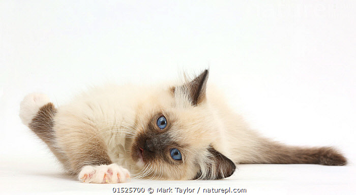 Nature Picture Library Ragdoll Kitten 10 Weeks Lying On