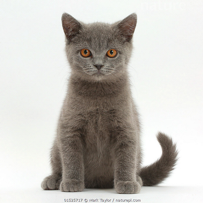 Blue British Shorthair kitten sitting., Felis catus,Cute,Adorable,Colour ,Grey,Cutout,Plain Background,White Background,Portrait,Animal,Young Animal,Baby,Baby Mammal,Kitten,Kittens,Domestic animal,Pet,Domestic Cat,British Shorthair,Domesticated,Felis catus,Cat,Direct Gaze,Portraits,Juveniles,Young Animals,Baby Animals,Cats,Pets,Babies,Colours,Colors,Animals,Felis catus,high16, Mark Taylor