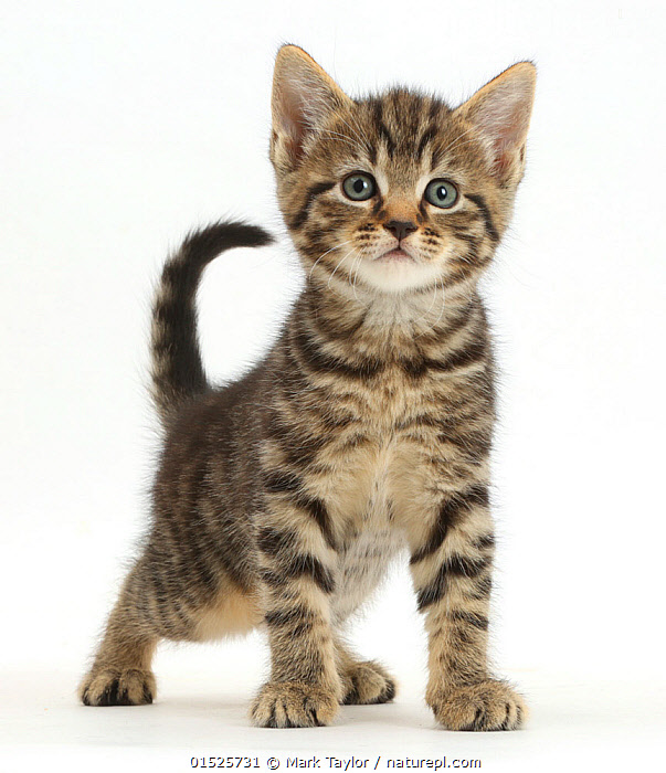 Tabby kitten, 6 weeks, standing.  ,  Felis catus,Cute,Adorable,Innocence,Innocent,Cutout,Plain Background,White Background,Portrait,Animal,Young Animal,Baby,Baby Mammal,Kitten,Kittens,Domestic animal,Pet,Domestic Cat,Domesticated,Felis catus,Cat,Tabby,Portraits,Juveniles,Young Animals,Baby Animals,Cats,Pets,Babies,Animals,Felis catus,high16  ,  Mark Taylor