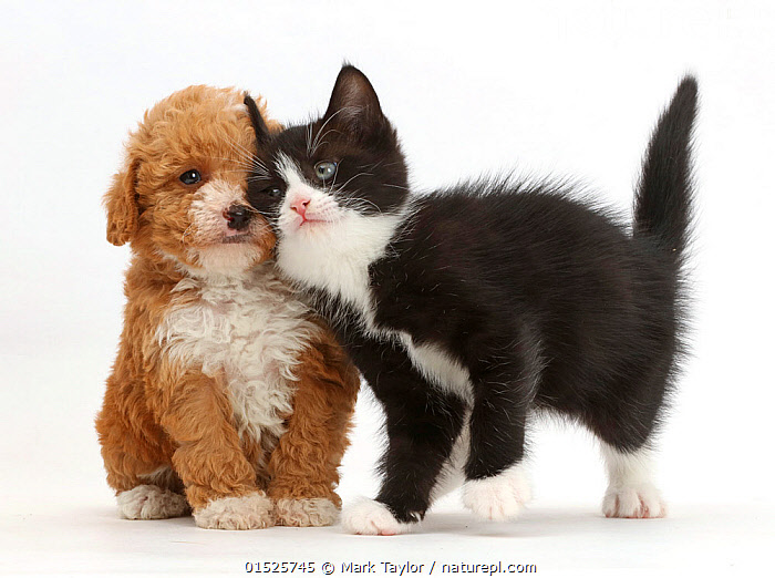 Black-and-white kitten, Solo, 6 weeks, rubbing against F1b toy Goldendoodle (Golden Labrador cross Toy poodle)  puppy. NOT AVAILABLE FOR BOOK USE, Felis catus,Canis familiaris,Cross breed,Cute,Adorable,Friendship,Two,Cutout,Plain Background,White Background,Black And White,B/W,Monochromatic,Animal,Young Animal,Juvenile,Babies,Baby Mammal,Kitten,Kittens,Crossbreed,Domestic animal,Pet,Mixed species,Domestic Dog,Domestic Cat,Cats,Designer breeds,Poodle cross,Goldendoodle,Felis catus,Canis familiaris,Unlikely friends,Unusual friends,Cat,Dog,Bicolour,Cross breed,Mammal,, Mark Taylor