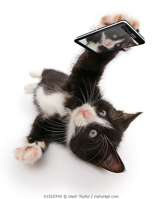 Black-and-white kitten, Solo, 6 weeks, 'taking a selfie'. Composite image., Felis catus,Lying down,Cute,Adorable,Cutout,Plain Background,White Background,Composite Image,Composite Images,Digital Composite,Animal,Young Animal,Baby,Baby Mammal,Kitten,Kittens,Equipment,Telephone,Mobile Phone,Domestic animal,Pet,Domestic Cat,Domesticated,Felis catus,Cat,Animal selfie,Selfie,Juveniles,Young Animals,Baby Animals,Cellphones,Cellular Telephones,Cats,Pets,Babies,Animals,Felis catus, catalogue9, Mark Taylor