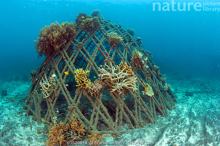 Corals attached to structure of bio-rock, a method of enhancing the growth of corals and aquatic organisms, Karang Lestari Pemuteran project, Desa Pemuteran, Bali Island, Indonesia, Pacific Ocean.  ,  Asia,South East Asia,Indonesia,Bali Island,Tropical,Sea Floor,Seabed,Reef,Reefs,Coral Reef,Coral Reefs,Ocean,Pacific Ocean,Marine,Underwater,Water,Conservation,Saltwater,Biodiversity hotspot,Tropics,Nature Reclamation,Nature taking over,Artificial Reef,Habitat management,Artificial reef,Regeneration,  ,  Franco  Banfi