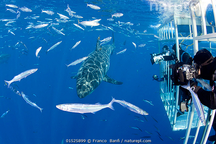 Scuba diver photographing Great white shark, (Carcharodon carcharias) from cage. Guadalupe Island, Mexico, Pacific Ocean. September 2011.  ,  Animal,Vertebrate,Cartilaginous fish,Mackeral shark,Great white shark,Animalia,Animal,Wildlife,Vertebrate,Chondrichthyes,Cartilaginous fish,Jawed fish,Lamniformes,Mackeral shark,Elasmobranchii,Elasmobranches,Lamnidae,Carcharodon,Carcharodon carcharias,Great white shark,Squalus lamia,Carcharodon smithii,Carcharias atwoodi,Diving,Underwater Diving,Scuba Diving,People,Group Of Animals,School,Group,Latin America,Central America,Mexico,Cage,Cages,Tropical,Ocean,Pacific Ocean,Marine,Underwater,Water,Saltwater,Tropics,Shark,Sea Cage,Shark cage,Enangered species,Vulnerable,Marine  ,  Franco  Banfi