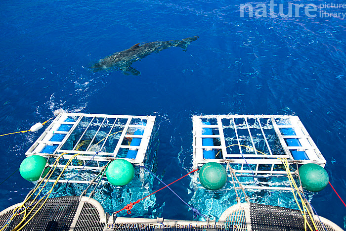 Great white shark (Carcharodon carcharias) swimming in front of scuba diving cages, Guadalupe Island, Mexico, Pacific Ocean. September 2011.  ,  Animal,Vertebrate,Cartilaginous fish,Mackeral shark,Great white shark,Animalia,Animal,Wildlife,Vertebrate,Chondrichthyes,Cartilaginous fish,Jawed fish,Lamniformes,Mackeral shark,Elasmobranchii,Elasmobranches,Lamnidae,Carcharodon,Carcharodon carcharias,Great white shark,Squalus lamia,Carcharodon smithii,Carcharias atwoodi,Diving,Leisure,Underwater Diving,Scuba Diving,People,Latin America,Central America,Mexico,Cage,Cages,Tropical,Ocean,Pacific Ocean,Marine,Underwater,Water,Saltwater,Tropics,Shark,Surface,Sea Cage,Extreme,Shark cage,Enangered species,Vulnerable,Marine  ,  Franco  Banfi
