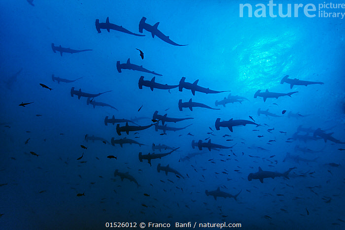 Schooling Scalloped hammerhead sharks (Sphyrna lewini) Cocos Island National Park, Costa Rica.  ,  catalogue8,,Animal,Vertebrate,Cartilaginous fish,Ground shark,Hammerhead sharks,Scalloped hammerhead shark,Animalia,Animal,Wildlife,Vertebrate,Chondrichthyes,Cartilaginous fish,Jawed fish,Carcharhiniformes,Ground shark,Sphyrnidae,Hammerhead sharks,Hammerheads,Sphyrna,Sphyrna lewini,Scalloped hammerhead shark,Direction,On The Move,Togetherness,Close,Together,Unity,Colour,Blue,Group Of Animals,School,Group,Large Group,Nobody,Luminosity,Glow,Glows,Latin America,Central America,Costa Rica,Coloured Background,Blue Background,Back Lit,Backlit,Tropical,Ocean,Pacific Ocean,Marine,Underwater,Water,Reserve,Silhouette,Saltwater,Biodiversity hotspot,Tropics,Protected area,UNESCO World Heritage Site,UNESCO,Heritage Site,World Heritage site,National Park,Shark,Moving,Sealife,Purpose,Blue Colour,Endangered species,threatened,Endangered,Marine  ,  Franco  Banfi